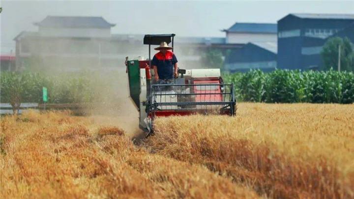 今年夏粮再获丰收 产量增加24.2亿斤