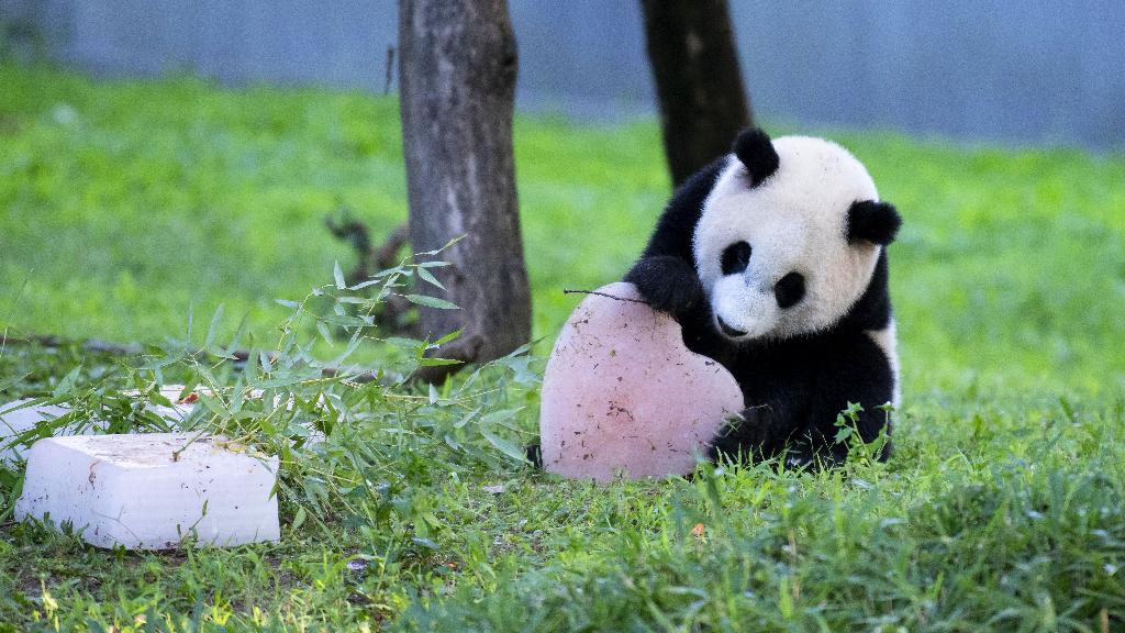 """从""""濒危""""降级""""易危"""" 我们为大熊猫做了什么"""