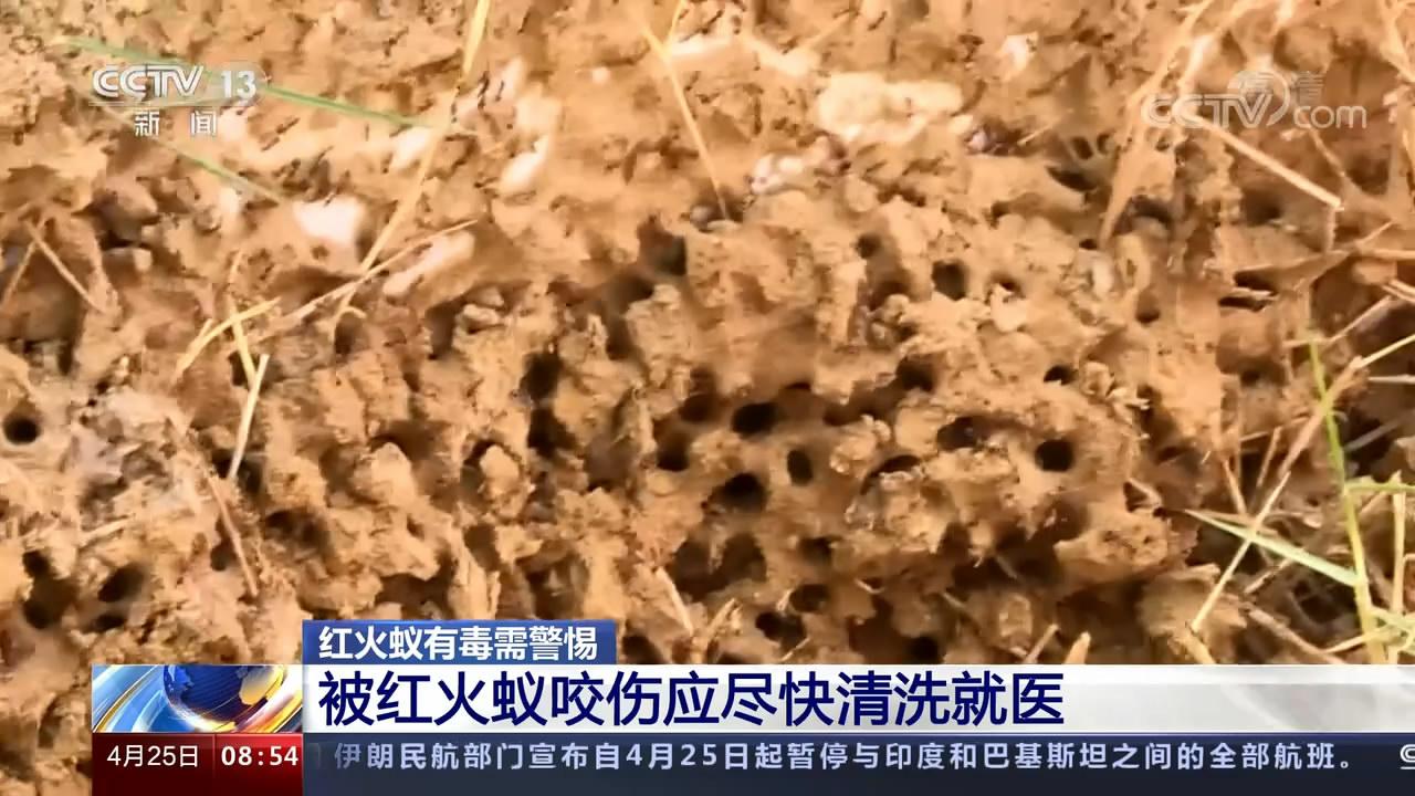红火蚁有毒需警惕 被红火蚁咬伤应尽快清洗就医