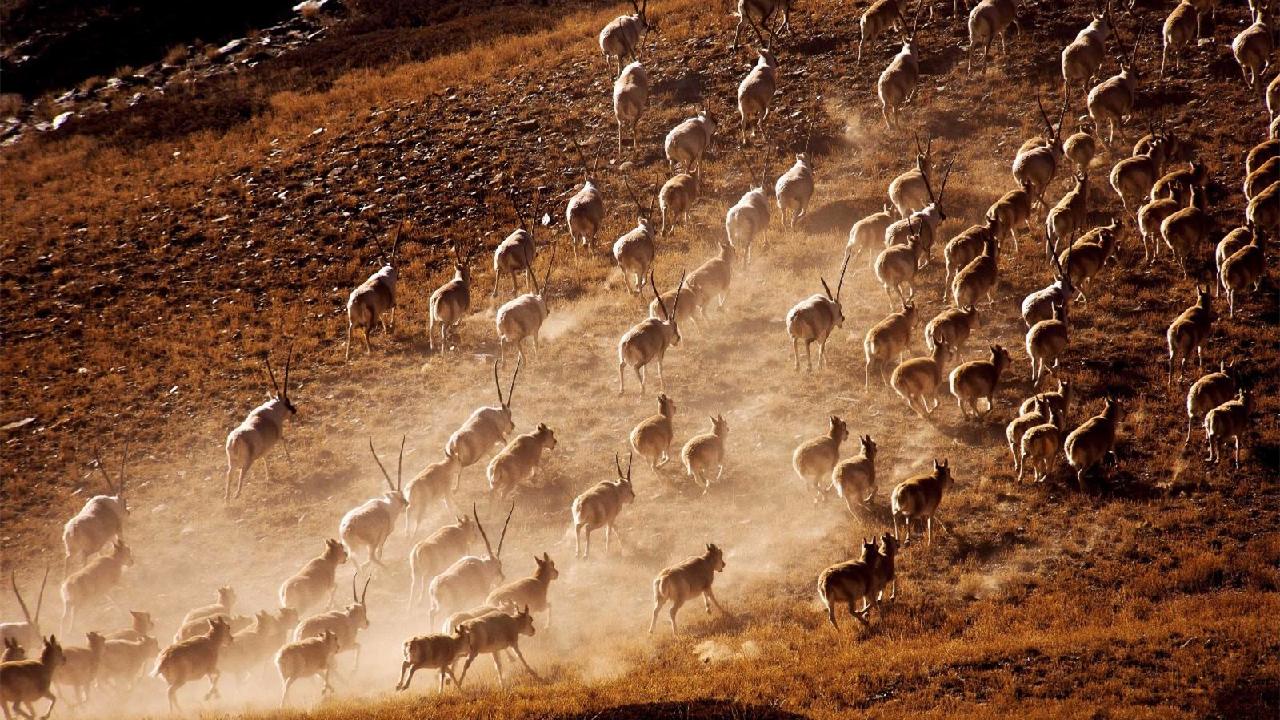向可可西里进发 藏羚羊开启一年一度迁徙之旅