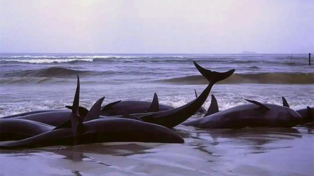 一問到底 6天16頭!鯨類頻繁擱淺為哪般?