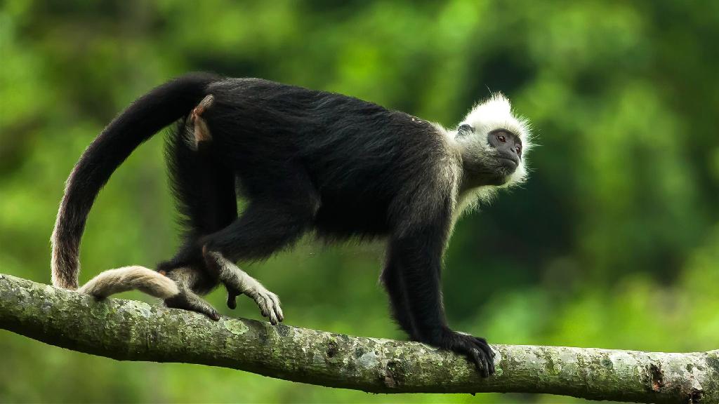 """聚焦生物多样性 探寻白头叶猴生存""""秘笈"""""""