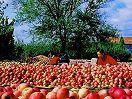 烟台特产栖霞苹果