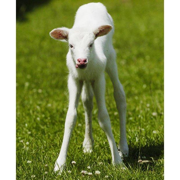 动物界的幽灵:白化症动物的另类美丽(图)