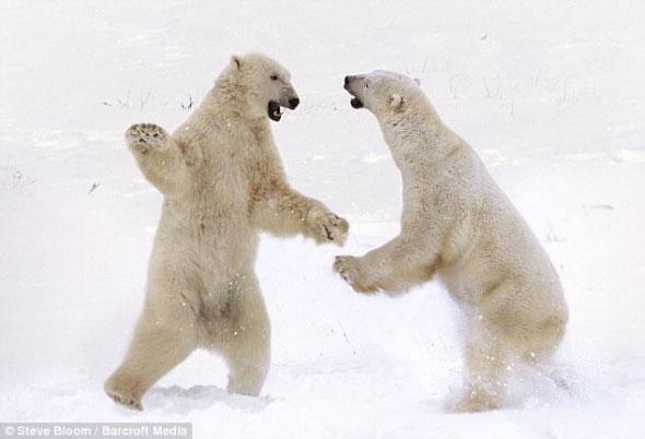 两只北极熊在加拿大马尼托巴湖丘吉尔角相互v价值价值肉医用鸽子图片