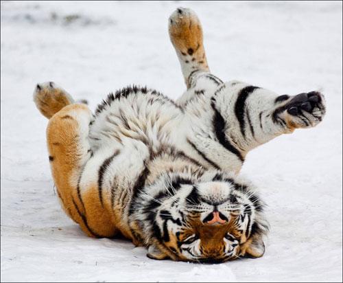 今年冬天特别冷 看动物过冬奇招