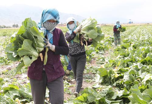 新疆哈密高原蔬菜喜获丰收