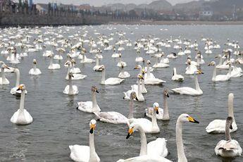 大批天鹅将在山东荣成沿海度过春节(图)