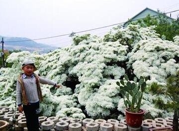 青岛200岁流苏树开花满树挂雪 现四月雪奇景