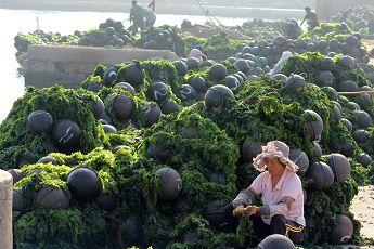 山东荣成:高温下的海带工人