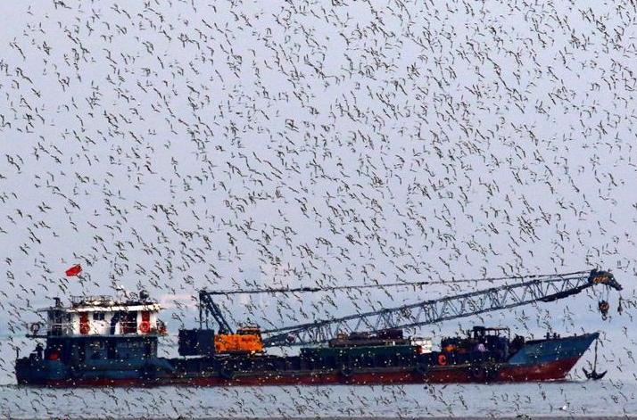 候鸟翔集胶州湾