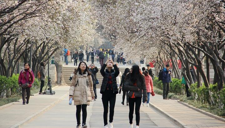 山师红叶李开遍 春到校园花如海