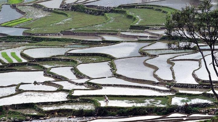 云南金平:梯田水暖秧苗绿
