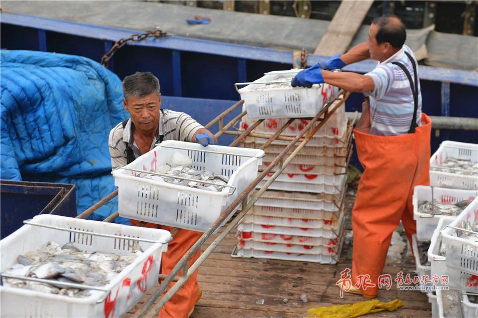 青岛市中心渔港,忙碌的渔港工人在装运新鲜渔获。