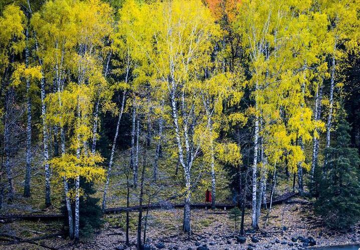 喀纳斯:秋景入画来