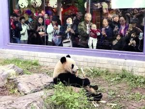 北京大熊猫家族迎新客
