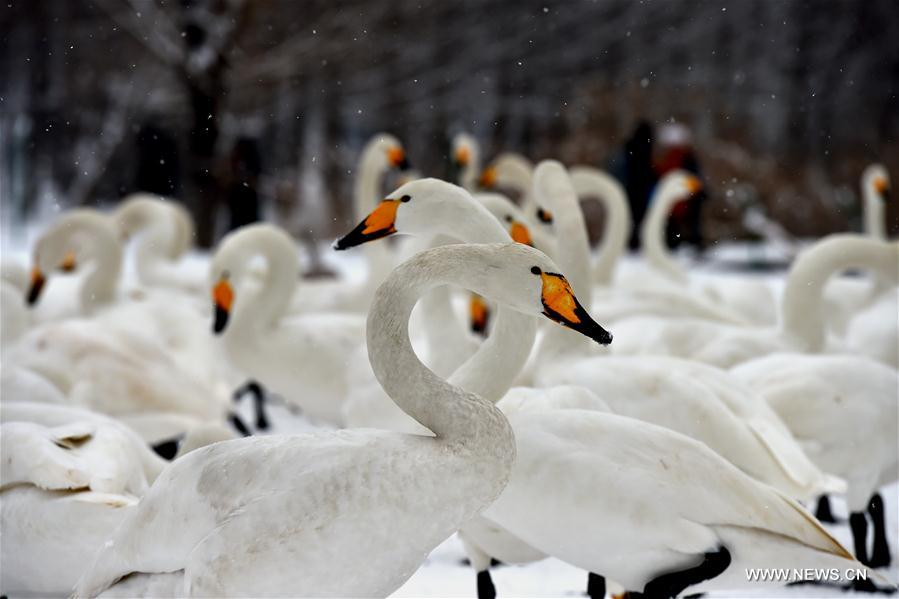 Swans rest at the Yellow River Wetland in Pinglu County, north China's Shanxi Province, Jan. 4, 2018. (Xinhua/Zhan Yan)<br/>