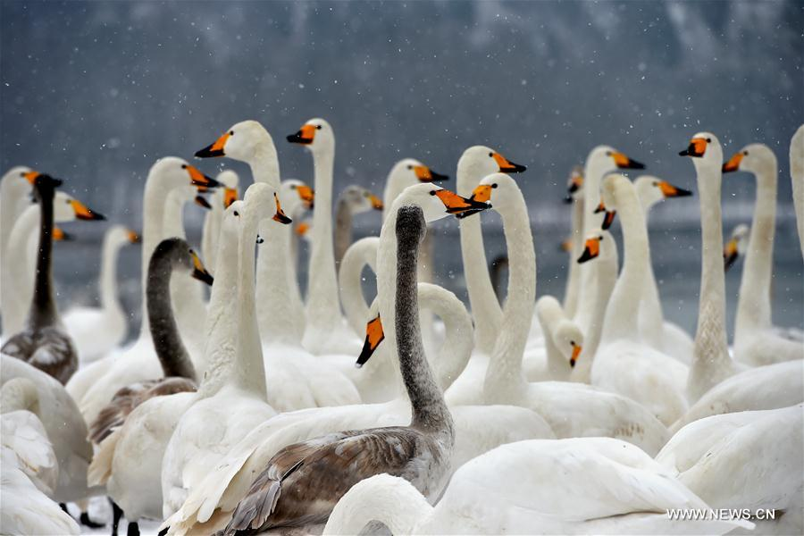 Swans are seen at the Yellow River Wetland in Pinglu County, north China's Shanxi Province, Jan. 4, 2018. (Xinhua/Zhan Yan)<br/>
