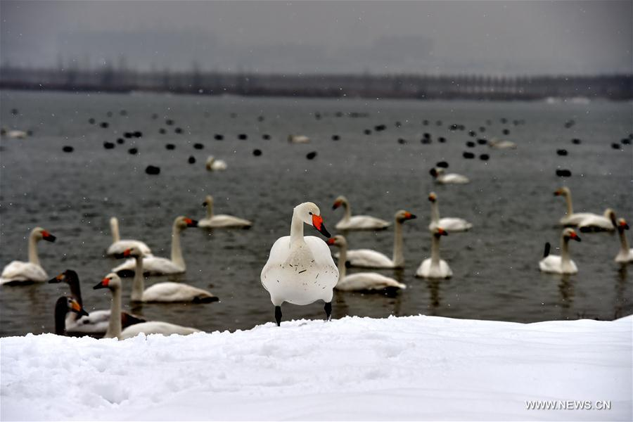 A swan is seen at the Yellow River Wetland in Pinglu County, north China's Shanxi Province, Jan. 4, 2018. (Xinhua/Zhan Yan)<br/>