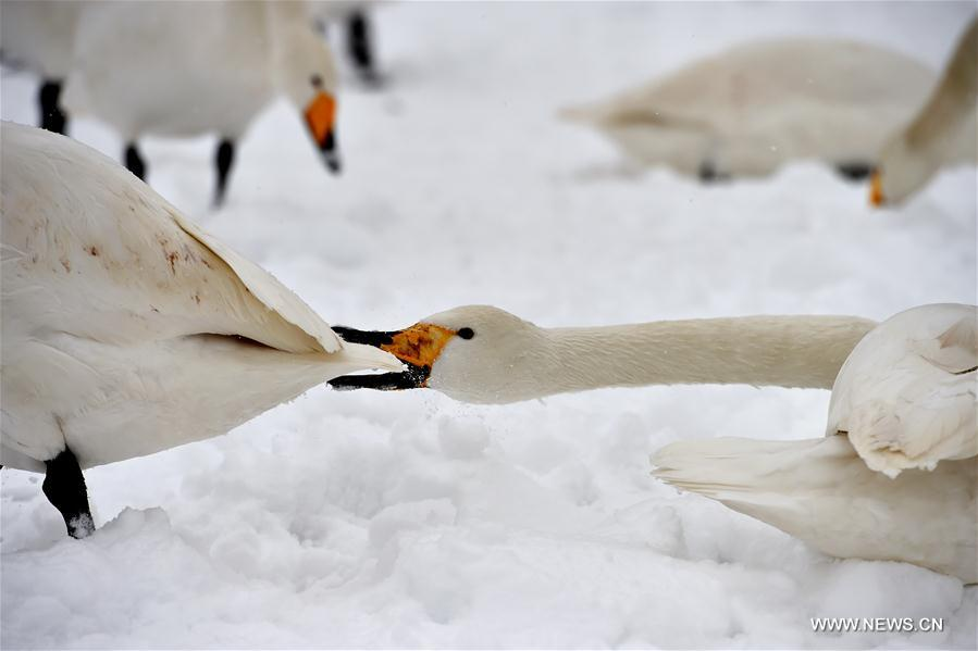 Swans are seen at the Yellow River Wetland in Pinglu County, north China's Shanxi Province, Jan. 4, 2018. (Xinhua/Zhan Yan)