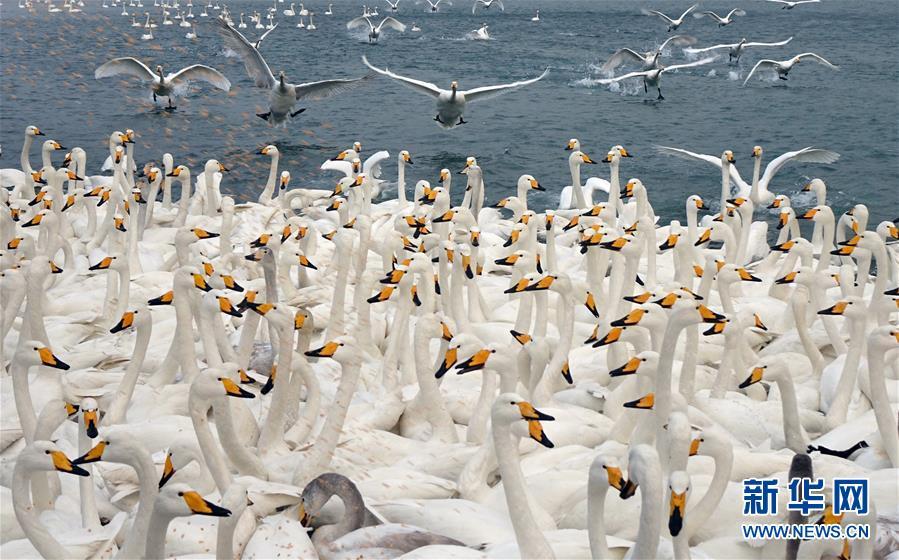 해마다 겨울철이면 1만 마리에 달하는 백조가 산동 영성(榮成)에 날아들어 이 곳에서 서식합니다. 최근 백조의 아름다운 모습을 감상하기 위해 특별히 이 곳을 찾는 관광객들이 늘고 있습니다.<br/>  사진은 1월 8일, 산동 영성시 연돈각(烟墩角) 해역에서 촬영한 백조의 모습입니다.<br/>