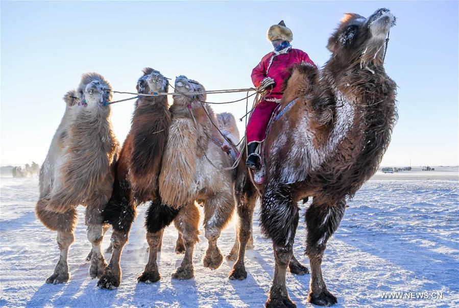 A herdsman leads camels to take part in a camel beauty contest in Sunite Right Banner, north China's Inner Mongolia Autonomous Region, Jan. 9, 2018. A camel fair, a local traditional festival including camel race and camel beauty contest, was held in the Banner on Tuesday. More than 200 camels took part in the fair. (Xinhua/Lian Zhen)<br/>
