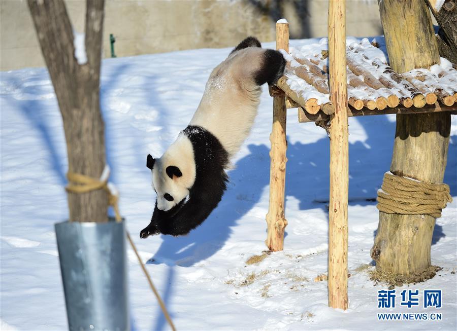 1월 9일 심양 삼림동물원에서 팬더가 눈 속에서 재롱을 피우며 겨울을 즐기고 있다.<br/>