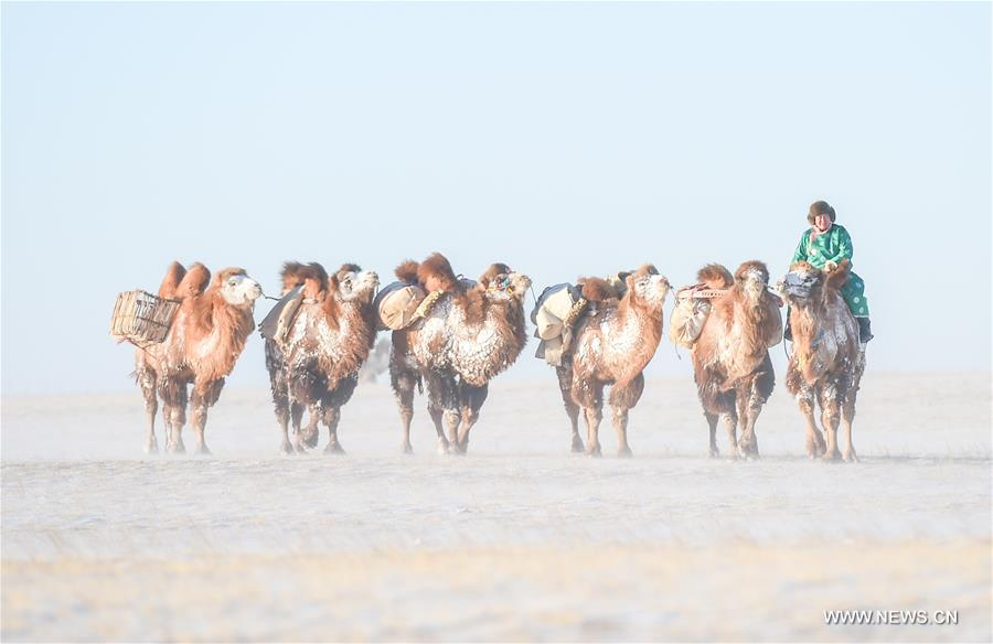 A herdsman leads camels on the snow-covered Sunite prairie in Sunite Right Banner, north China's Inner Mongolia Autonomous Region, Jan. 9, 2018. A camel fair, a local traditional festival including camel race and camel beauty contest, was held in the Banner on Tuesday. More than 200 camels took part in the fair. (Xinhua/Lian Zhen)<br/>