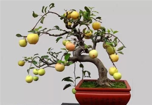盆景艺术:水果盆景 难得一见