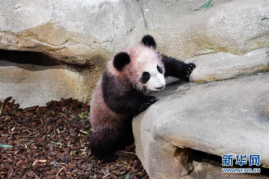 这是1月13日在法国圣艾尼昂市博瓦勒野生动物园拍摄的大熊猫宝宝&amp;ldquo;圆梦&amp;rdquo;。<br/>  当日,首只在法国出生的大熊猫宝宝&amp;ldquo;圆梦&amp;rdquo;正式与公众见面。&amp;ldquo;圆梦&amp;rdquo;于2017年8月4日生于博瓦勒野生动物园,爸爸妈妈是旅法大熊猫&amp;ldquo;圆仔&amp;rdquo;和&amp;ldquo;欢欢&amp;rdquo;。(新华社记者 陈益宸 摄)<br/>