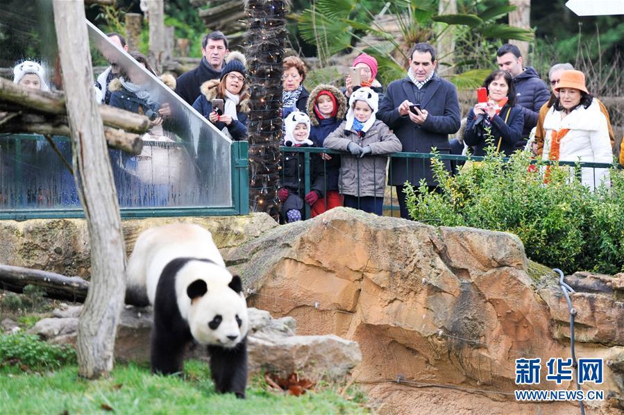 """1月13日,在法国圣艾尼昂市博瓦勒野生动物园,游客观看大熊猫宝宝""""圆梦""""的父亲——大熊猫""""圆仔""""。"""
