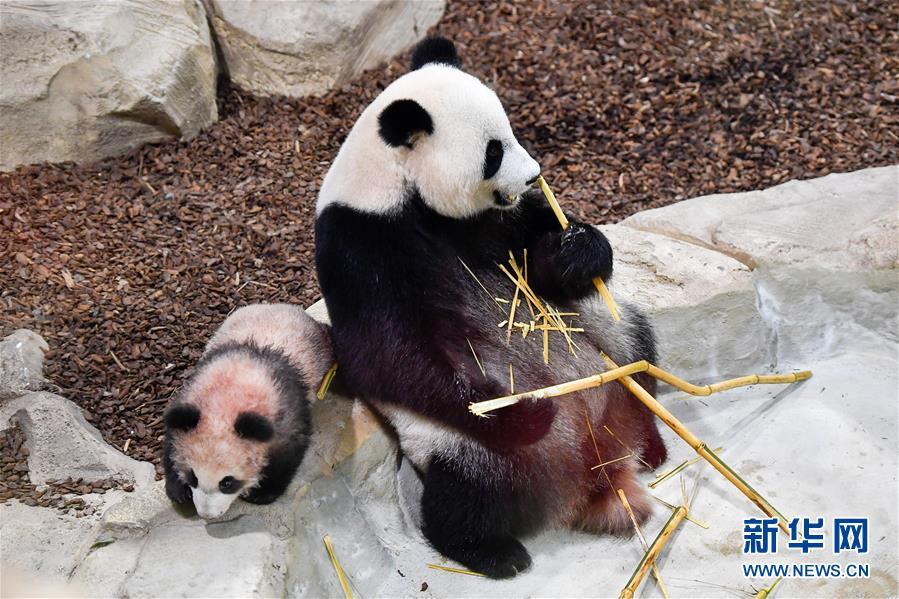 这是1月13日在法国圣艾尼昂市博瓦勒野生动物园拍摄的大熊猫宝宝&amp;ldquo;圆梦&amp;rdquo;及其母亲&amp;ldquo;欢欢&amp;rdquo;。<br/>