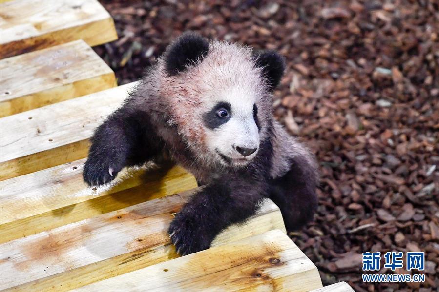 这是1月13日在法国圣艾尼昂市博瓦勒野生动物园拍摄的大熊猫宝宝&amp;ldquo;圆梦&amp;rdquo;。<br/>