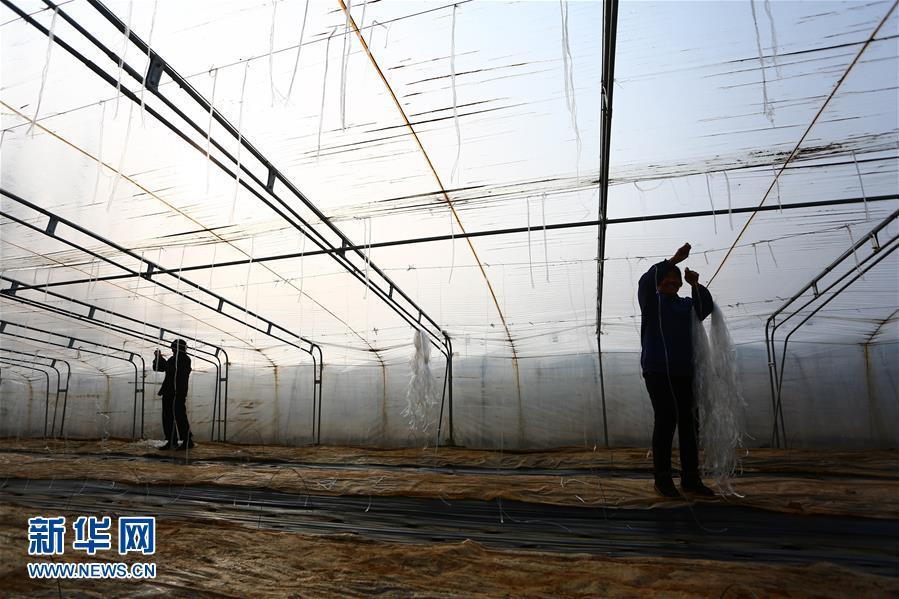 1月20日,在山东省枣庄市山亭区山城街道绿满园种植大棚内,果农正在为香瓜搭架。