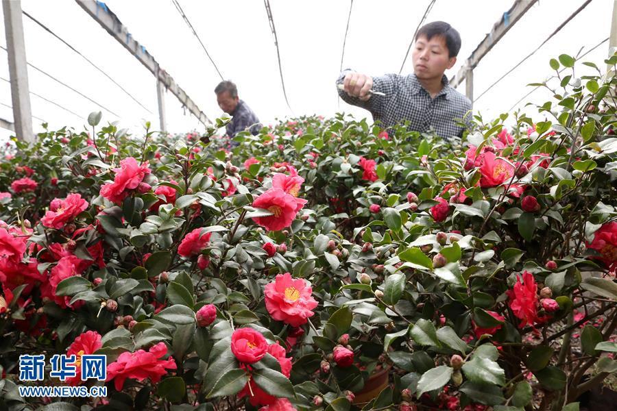 1月20日,花农在山东省枣庄市光明路街道东垎塔埠村的大棚里整修茶梅花。<br/>