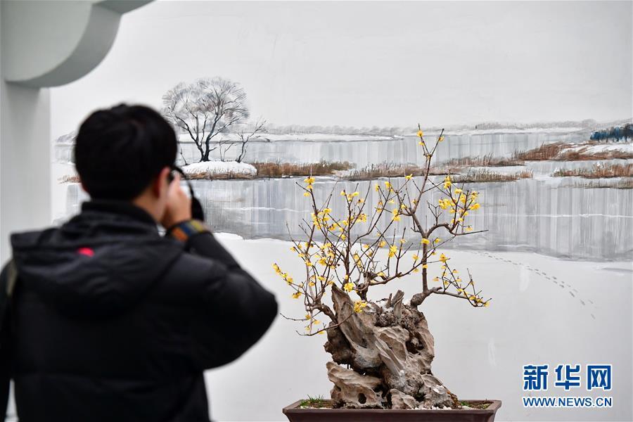 1月22日,在河南鄢陵花博园会展中心,一位游客在拍摄展出的蜡梅。当日,第七届中国&amp;middot;鄢陵蜡梅梅花文化节在河南鄢陵开幕,造型各异的蜡梅梅花竞相绽放。鄢陵是&amp;ldquo;南花北移、北花南迁&amp;rdquo;的天然驯化基地,素有&amp;ldquo;花都&amp;rdquo;美称。<br/>