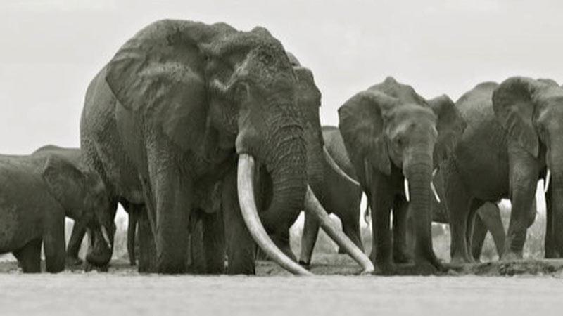 萨陶的象牙可以触及地面