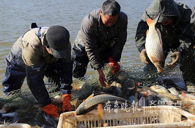 春节来临,枣庄市峄城区底阁镇康庄村民开启今春第一网捕鱼行动。<br/>