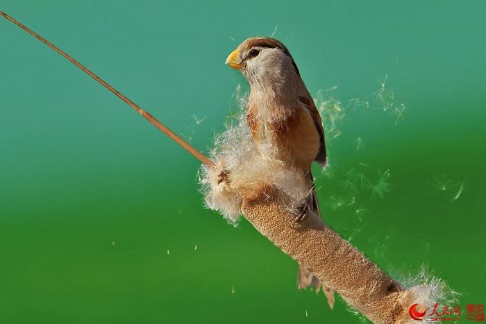 진단 뱁새(震旦鴉雀, Reed Parrotbill paradoxornis heudei)는 중국 고유의 특유의 희귀 조류종으로 &amp;ldquo;조류 계의 팬더&amp;rdquo;라고 불린다. &amp;lsquo;진단&amp;rsquo;은 굉장히 중국화 된 이름으로, 고대 인도인들이 중국을 부르던 호칭이다[진단: 산스크리트어로 화하대지(華夏大地)라는 뜻]. 이 새는 중국 난징(南京, 남경)에서 첫 번째 표본이 채집되어서 진단 뱁새라는 이름을 갖게 되었다.<br/>  진단 뱁새는 깃털이 아름답고 우는 소리가 좋아 &amp;ldquo;갈대 속의 요정&amp;rdquo;이라고 통한다. 이 새의 생활 영역은 갈대가 무성한 습지로 몹시 제한적이기 때문에 개체 수가 극히 적다. 진단 뱁새는 이미 국제 자연 및 환경 보호 연맹(IUCN)에 멸종 위급 종으로 올라있고, 전 세계적으로 멸종 위기에 처해있어 사람들은 &amp;ldquo;조류 계의 팬더&amp;rdquo;라며 탄식하고 있다.<br/>  진단 뱁새는 체형이 약 18cm의 중형 뱁새이다. 현재 분포하는 서식지는 헤이룽장(黑龍江)강 하류, 랴오닝(遼寧, 요녕)의 갈대 밭, 창장(長江)강 유역, 장쑤(江蘇, 강소) 연해의 갈대밭에 불과하다.<br/>