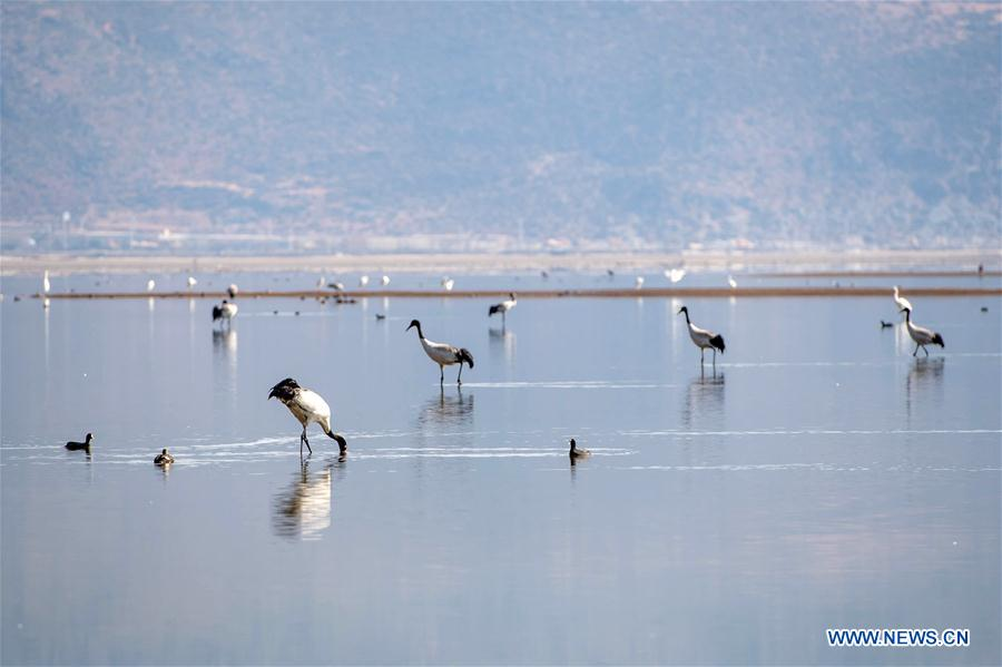 Blacknecked cranes and other birds rest at the Napahai Nature Reserve in Shangri-la County, Tibetan Autonomous Prefecture of Diqing in southwest China's Yunnan Province, March 11, 2018. The integrated ecosystem of everglade in Napahai Nature Reserve attracts more than 300 blacknecked cranes every year to live through the winter. (Xinhua/Hu Chao)<br/>