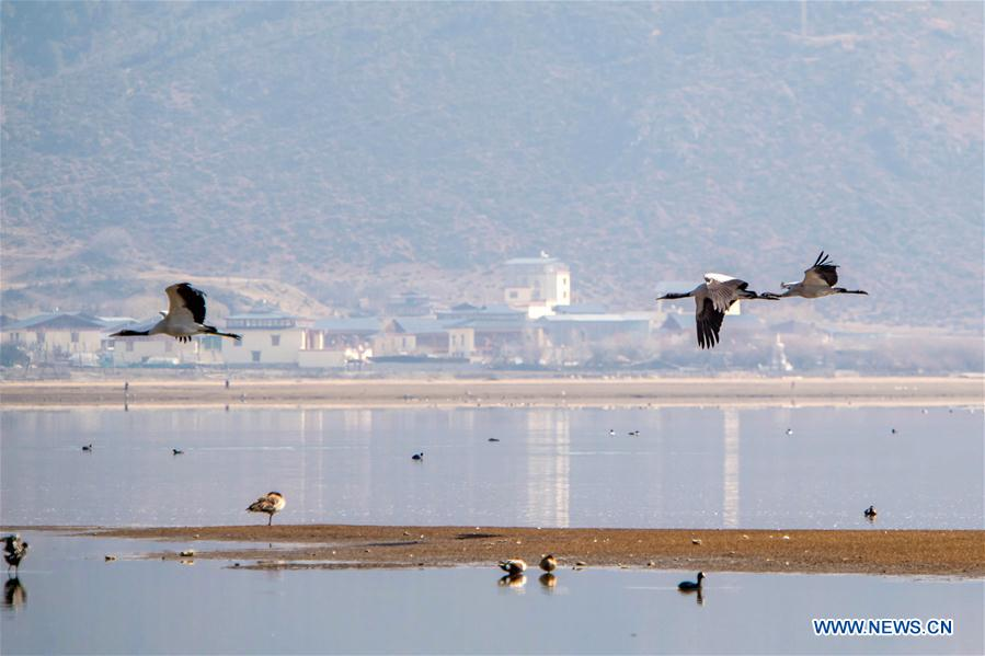 Blacknecked cranes fly at the Napahai Nature Reserve in Shangri-la County, Tibetan Autonomous Prefecture of Diqing in southwest China's Yunnan Province, March 11, 2018. The integrated ecosystem of everglade in Napahai Nature Reserve attracts more than 300 blacknecked cranes every year to live through the winter. (Xinhua/Hu Chao)<br/>