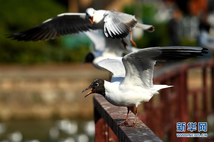3月13日,即将返乡的红嘴鸥在昆明市环西桥头嬉戏。随着天气转暖,在云南昆明越冬的大批红嘴鸥即将返乡。<br/>