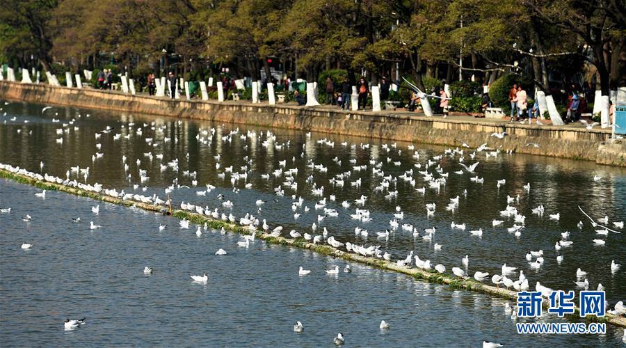 <br/>   3月13日,即将返乡的红嘴鸥在昆明大观河上嬉戏。