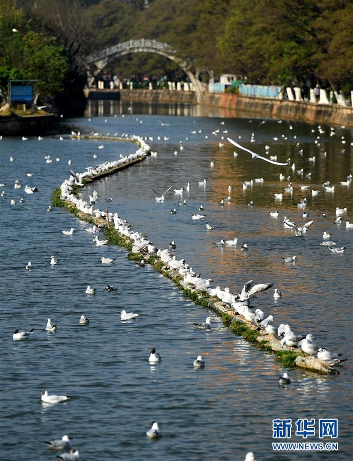 <br/>   3月13日,即将返乡的红嘴鸥在昆明大观河上嬉戏。<br/>