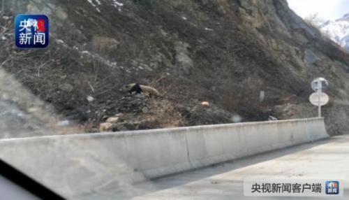 四川夫妇偶遇野生大熊猫 手机记录憨态熊猫爬山