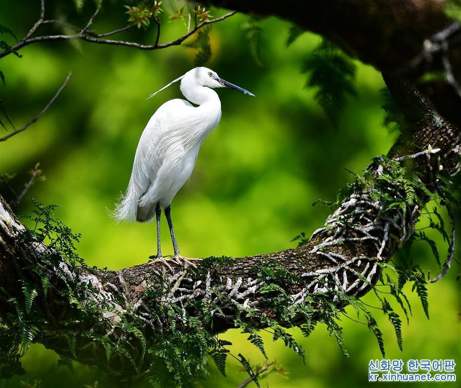 푸저우(福州) 시후(西湖)공원 모츠(墨池)의 호수 중앙에 있는 작은 섬에는 오래된 네 그루의 중양목이 있다. 봄이 되자 이끼로 덮인 나뭇가지에 새들이 날아와 앉았다. 새들이 지저귀는 모습에 지나가던 시민들이 발걸음을 멈추고 구경하고 있다. [촬영/신화사 기자 메이융춘(梅永存)]<br/>