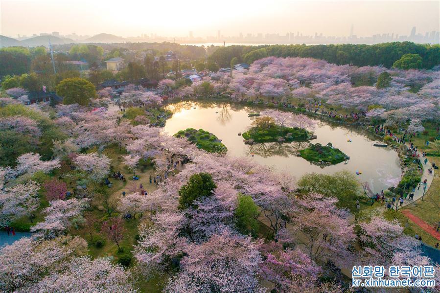 3월 26일, 드론으로 촬영한 우한(武漢) 둥호(東湖) 벚꽃원이다. 최근 둥호벚꽃원의 벚꽃들이 경쟁하듯 피어났다. 관광객들이 야간에도 벚꽃감상을 즐길수 있게 야간 조명까지 켰다. 많은 관광객들이 이곳을 찾아 꽃을 감상하고 봄나들이를 즐겼다. [촬영/신화사 기자 슝치(熊琦)]<br/>