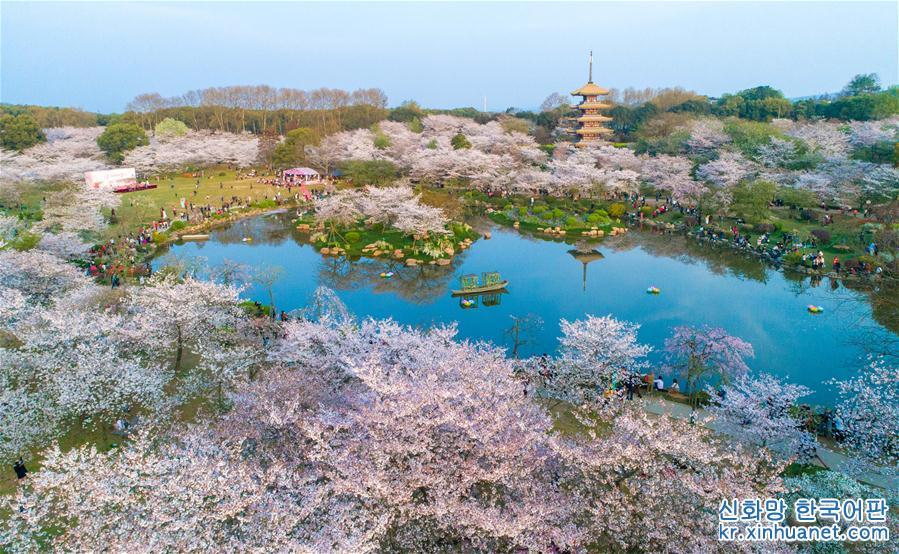 우한 : 화려한 벚꽃 관광객 매료시켜