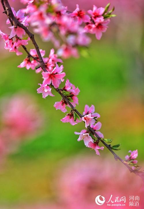 봄이 찾아오면서 복숭아꽃이 활짝 피기 시작했다. 중국 허난(河南, 하남) 광산(光山)현 후산(斛山)향 추다완(邱大灣)촌 산간을 물들인 복숭아꽃 물결이 많은 사람들의 발길을 사로잡았다. 사람들은 황토 고원에서 복숭아꽃 감상, 사진 촬영 등을 즐겼다.<br/>  통계에 따르면 후산향 복숭아 산업은 14개 촌(村)까지 확대됐다. 총면적은 1만 2,000묘(畝, 면적 단위: 1묘는 약 666.67㎡)에 달하고 368가구, 928명이 복숭아 산업에 종사하고 있다. 또한 복숭아 산업에 종사하는 농가의 1인당 평균 수입은 1년에 1,800위안(약 30만 5천 원) 이상으로 증가됐다.<br/>  최근 허난 광산현은 농민들에 토지를 임대해 주며 빈곤 농민들에게 우선적으로 배당금을 지급하고 있다. 생태 관광 등 형태로 빈곤 농가에 샤오캉(小康: 중산층) 사회 건설을 꾀하며 점차적으로 농민들에게 부를 제공하고 있다.<br/>