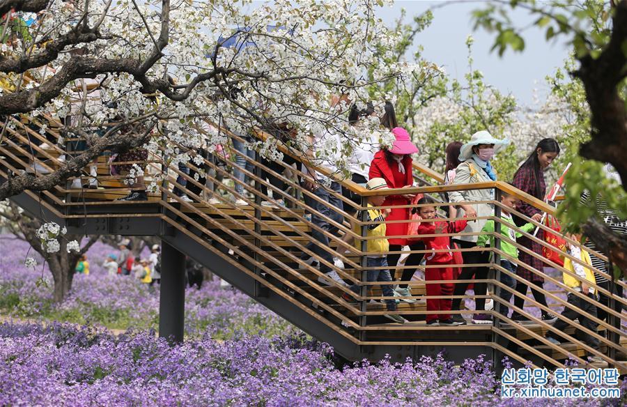 4월 3일, 관광객들이 싼타이산(三臺山) 삼림공원 내 리샹만위안(梨香滿園) 관광구역에서 꽃을 감상하고 있다. 청명절을 맞이한 장쑤(江蘇)성 쑤쳰(宿遷)시 싼타이산 삼림공원의 리샹만위안 관광구역에 백색의 배꽃과 보라색의 소래풀이 앞다투어 피어나 봄놀이와 꽃 구경하러 나온 수많은 관광객의 발길을 끌었다. [촬영/신화사 기자 저우궈창(周國强)]